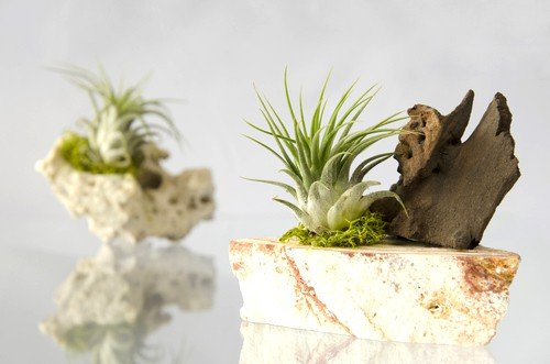 Air Plant in Stone Planter