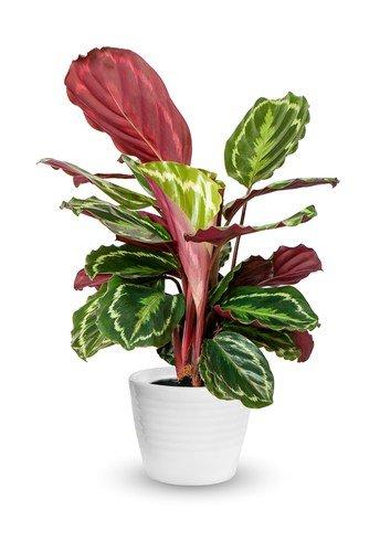 calathea houseplant