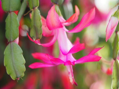 Pink bloom of Christmas Cactus
