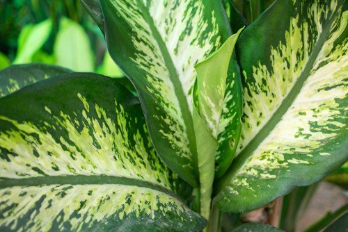 Close-up of dumb cane plant leaves