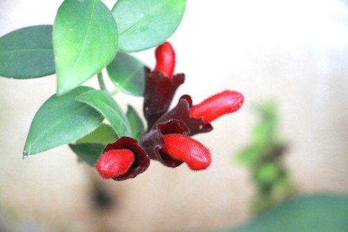 4 Red Lipstick Plant Blooms
