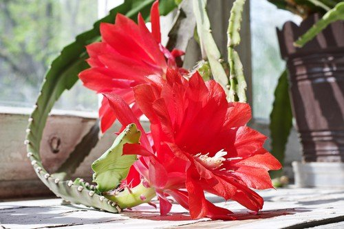 2 red orchid cactus blooms