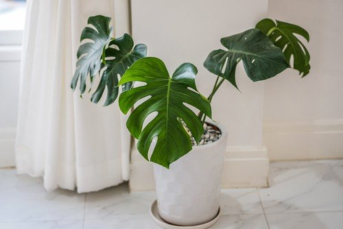 best bathroom houseplants -philodendron