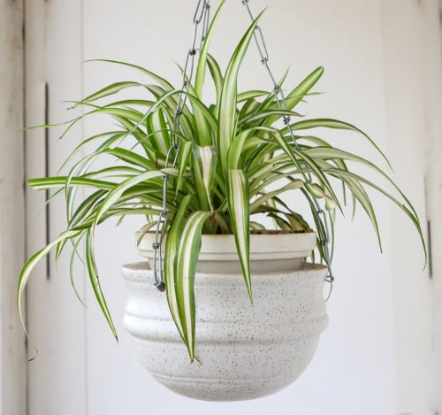 spider plant in white hanging pot