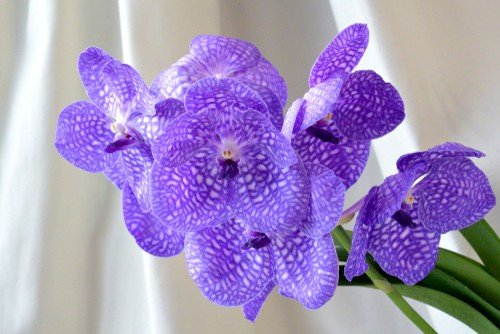 purple vanda orchid blooms