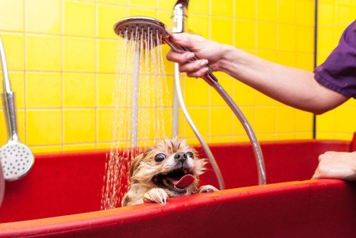 How to give a puppy a bath? Use the same techniques as you would for a full-grown dog.
