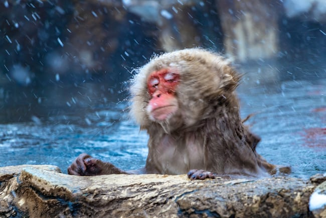 Japanese snow monkey in onsen